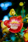 picture of cannonball-flower  - Close up Shorea robusta flowerPlants in India - JPG