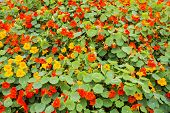 stock photo of nasturtium  - Nasturtium flowers of red and yellow colors - JPG