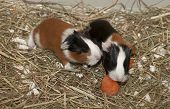 Newborns Of Guinea Pig