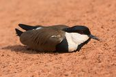 Spur-winged Plover Lying On The Road