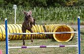 Canine Agility Jump