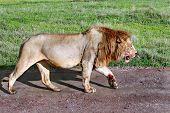 Satiated Lion Returned From Successful Hunt, Stained With Blood Sacrifices.