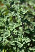 Catmint Herb growing in garden
