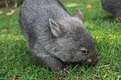 image of wombat  - Australian native wombat grazing on the grass - JPG