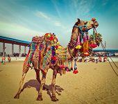 Vintage retro hipster style travel image of decorated camel at Pushkar Mela (Pushkar Camel Fair). Pushkar, Rajasthan, India