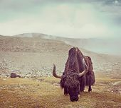 Vintage retro hipster style travel image of yak grazing in Himalayas. Ladakh, India