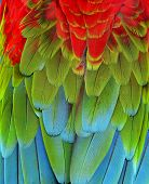 Close Up Of Red, Green And Blue Macaw Parrot Bird Feathers