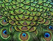 Beautiful Peacock Bird Feathers In Great Texture