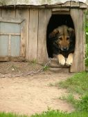 stock photo of dog-house  - Lonely chained dog watching out of his kennel - JPG