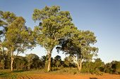 image of eucalyptus trees  - Large eucalyptus trees - JPG