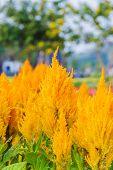 Yellow Gold Celosia Flower