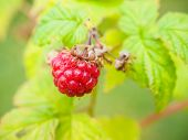 Fresh Red Raspberry Hanging On Bush With Fresh Green Leaves