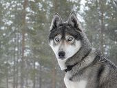 image of sled dog  - Siberian husky dog  - JPG