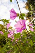 picture of hollyhock  - Pink hollyhock flowerrs blooming in the home garden - JPG