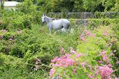 Horse grazing in Caribbean meadow