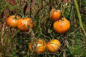 Tomato plant with disease