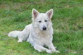 Portrait of beautiful dog - White Swiss Sheepdog