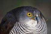 African Goshawk Bird