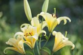 Yellow lilies in the Keukenhof park