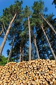 Pines And Pile Of Wood Logs