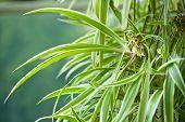 Chlorophytum, comosum, Variegatum, green leaf with roots