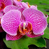 Beautiful Blooming Branch Of Stripped Violet Orchid (phalaenopsis ) On The Big Green Leaf (philodend