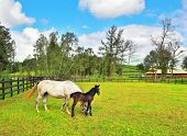 The rich country estate, with the special fence on the green lawn thoroughbred horses graze. Beautiful white horse with a charming black colt