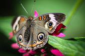 Common Buckeye Junonia Coenia