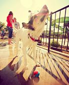 a cute dog having fun at a local public pool toned with a retro vintage instagram filter effect