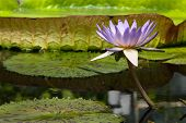 Flower Of Giant Water Lily In Pond