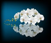 illustration with white orchid on dark blue background