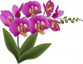 illustration with dark pink orchid isolated on white background