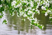apple blossom in nature