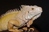 stock photo of albinos  - High resolution image of an albino iguana  with vertical pupils - JPG