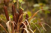 stock photo of cattail  - Cattails in the fall amongst the straw - JPG