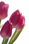 Close Up Of Tulip Bouquet Isolated
