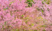 Wild Himalayan Cherry  (thailand Sakura ).