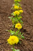 Newly planted marigolds in the spring garden.