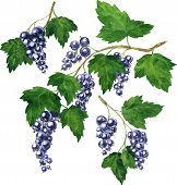 three branches of black currants
