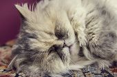 purebred gray cat sleeping in a museum cats
