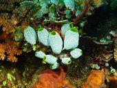 stock photo of squirting  - The surprising underwater world of the Bali basin - JPG