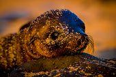 foto of sea lion  - baby sea lion at sunset in galapagos islands ecuador - JPG