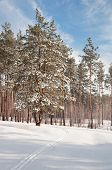 Next to ski in the snow-covered pine forest