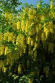 yellow acacia