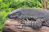 stock photo of goanna  - lazy goanna bathing in the sun in a garden - JPG