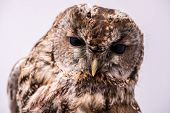 pic of bestiality  - Portrait of a Tawny Owl isolated in white background