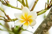 Beautiful White Frangipani Flowers On The Tree