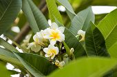 White  Plumeria Spp. (frangipani Flowers, Frangipani, Pagoda Tree Or Temple Tree) On Tree