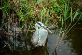 White Heron with a long beak