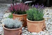 lavender and heather in terracotta pots